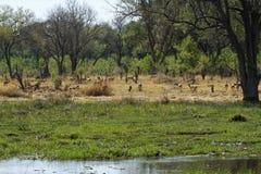 飞羚牧群 库存图片