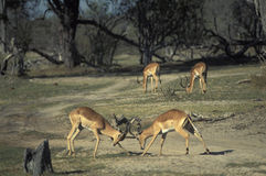 飞羚的瞪羚,博茨瓦纳男性战斗 图库摄影