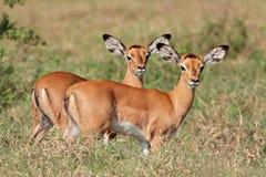 飞羚羚羊羊羔 免版税库存照片
