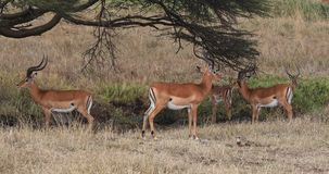 飞羚,aepyceros melampus,小组在大草原,内罗毕公园的男性在肯尼亚,实时 股票视频