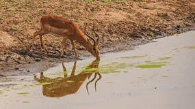飞羚Ram饮用水在克留格尔国家公园 非洲著名kanonkop山临近美丽如画的南春天葡萄园 库存照片