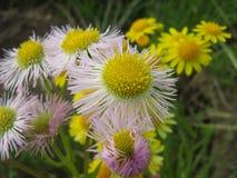 飞蓬属植物fleabane费城philadelphicus 免版税库存图片