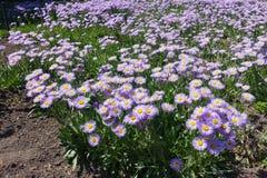 飞蓬属植物speciosus笔直词根与花的 免版税库存照片