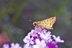 飞蛾和花 库存图片