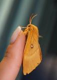 飞蛾在手边,在一只女性手上的美丽的夜蝴蝶在蓝色背景 库存照片