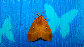 飞蛾在手边,在一只女性手上的美丽的夜蝴蝶在蓝色背景 免版税库存图片