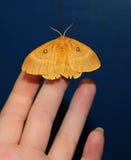 飞蛾在手边,在一只女性手上的美丽的夜蝴蝶在蓝色背景 免版税图库摄影