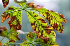 飞蛾损坏的七叶树树; 七页树属hippocastanum;叶子 免版税库存照片