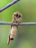 飞蛾面孔。 免版税图库摄影