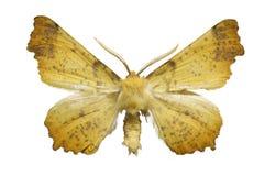 飞蛾黄色 库存照片