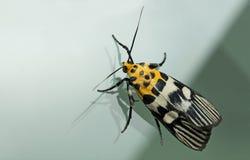 飞蛾,蝴蝶在晚上,飞蛾在泰国 免版税库存图片