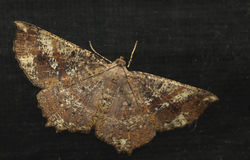 飞蛾,蝴蝶在晚上,飞蛾在泰国 免版税图库摄影