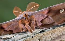 飞蛾polyphemus纵向 库存照片
