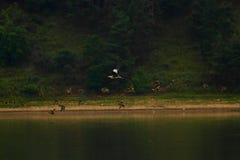 飞行一个的小组苍鹭水面上 库存图片