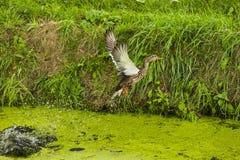 飞行一只害怕的鸭子  免版税库存照片