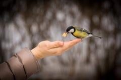 飞行一只小的山雀采取从他的手的食物 春天哺养的鸟 免版税库存照片