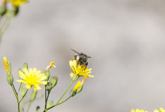 飞行一朵黄色花的蜂 库存照片