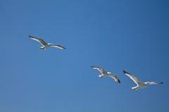 飞行上面在蓝天的三只海鸥 库存图片