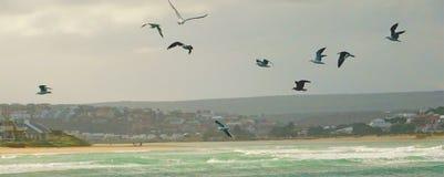 飞行上面波浪的海鸥群  免版税库存照片