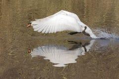 飞行上面装饰池塘,南安普敦的一只疣鼻天鹅共同性 免版税库存图片