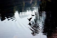 飞行下来鸭子飞溅到湖 免版税库存图片