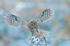 飞行与猫头鹰的冬天场面 在雪森林猫头鹰的飞行猫头鹰在飞行 与猫头鹰的行动场面 飞行欧亚黄褐色的猫头鹰,猫头鹰类aluc 免版税图库摄影