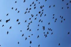 飞行与蓝天的鸽子鸟人群  免版税库存图片