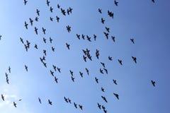 飞行与蓝天的鸽子鸟人群  免版税图库摄影