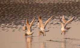 飞行从海滩的海鸟 免版税图库摄影
