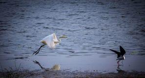 飞行从湖的伟大的白鹭 免版税库存图片