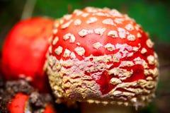 飞行伞形毒蕈蘑菇 库存图片