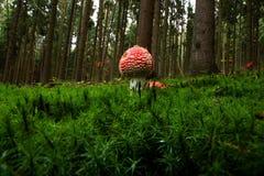 飞行伞形毒蕈蘑菇 免版税库存照片