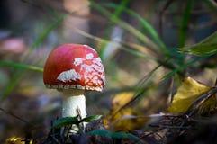 飞行伞形毒蕈蘑菇 图库摄影