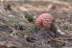飞行伞形毒蕈 与半球形的盖帽的年轻蘑菇 知名的白色sp 库存照片