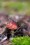 飞行伞菌在森林里 免版税库存照片