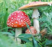 飞行伞菌 库存图片