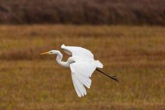 飞行伟大的白色白鹭鸟白鹭属的画象晨曲在芦苇, s 免版税库存图片
