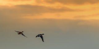 飞行入日落的两只鸭子 免版税库存图片