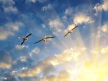 飞行入落日光芒的三只海鸥  图库摄影