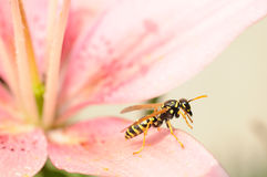 飞行准备好对黄蜂 免版税库存图片