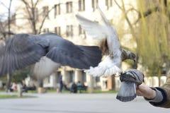 飞行到一个人的手的三只鸽子到饲料 免版税库存图片