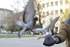 飞行到一个人的手的三只鸽子 免版税图库摄影