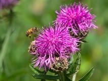 飞行到一朵紫色桃红色山花的蜂蜜蜂 免版税库存图片