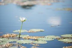 飞行到一朵waterlily花的蜂 库存照片