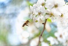 飞行到在春天晴朗的天气的一棵开花的樱桃树的蜂 免版税库存图片