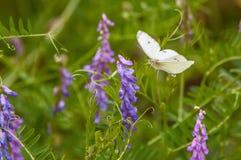 飞行到淡紫色开花植物的白色蝴蝶 库存照片