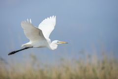 飞行南非的苍鹭 图库摄影