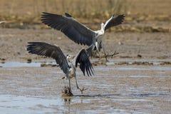 飞行南非的苍鹭 库存图片