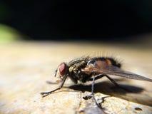 飞行双翅目昆虫宏指令自然 免版税库存照片