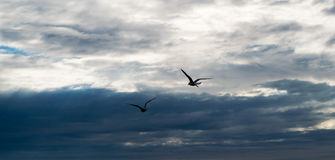 飞行反对剧烈的多云风雨如磐的天空的两只海鸥 免版税库存照片